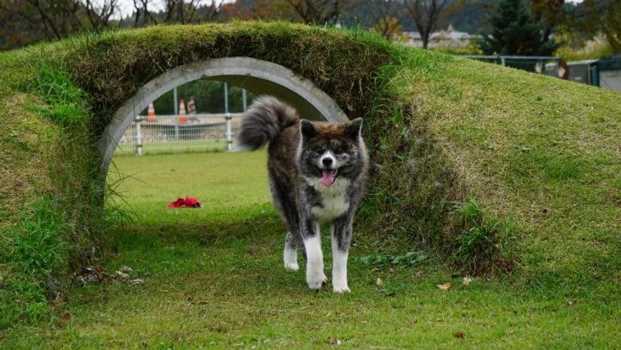 秋田犬の画像 p1_35