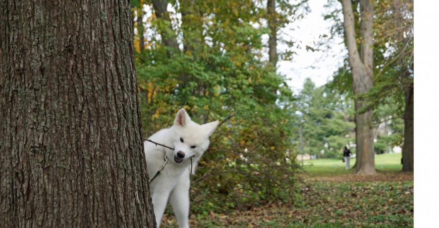 The Akita Inu which picks up a branch
