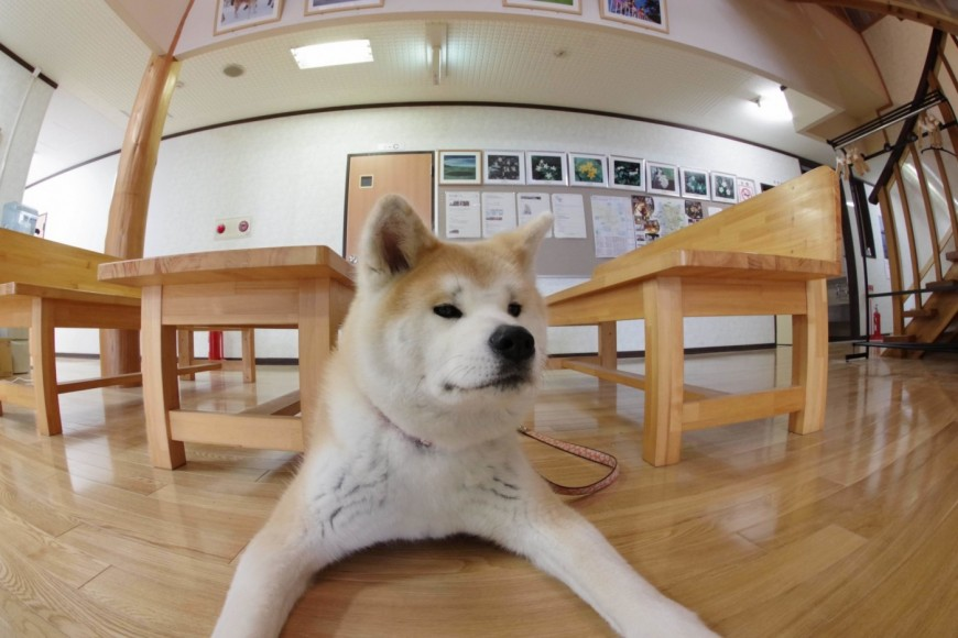 Five colors of lake lodge Akita Inu