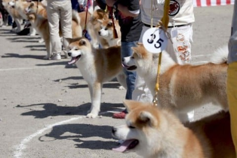 Akita Inu participating in a headquarters exhibition